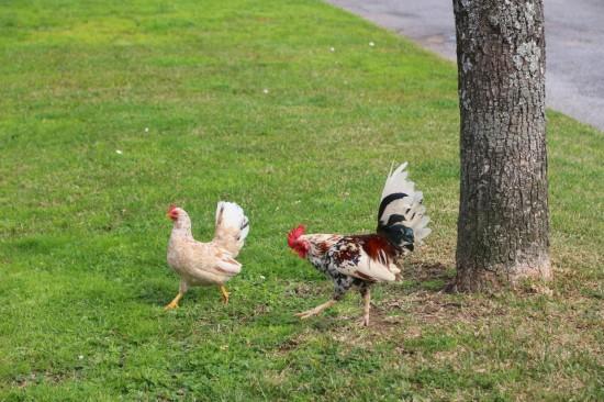 galinhas (08)fev18-PNS