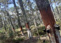 """Perímetro Florestal das Dunas de Ovar: """"cicatrizes"""" da exploração de resina na paisagem florestal…"""