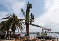 Plantação de palmeiras no Passeio Alegre devolve esplendor à Foz do Douro